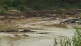 Hippos in Mara River - 204577236