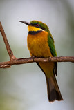 Little bee-eater perched on branch looking left