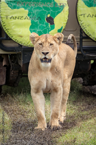 Fototapeta Lioness stands before jeep on muddy track