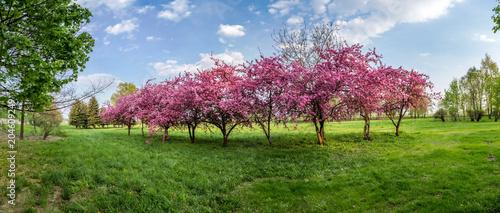 Plexiglas Blauwe hemel pink blossom tree panorama