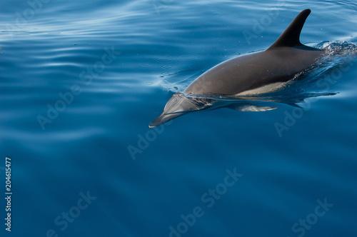 Aluminium Dolfijn Madeira