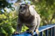 Quadro Brazilian marmoset crawling along a fence on Leme mountain
