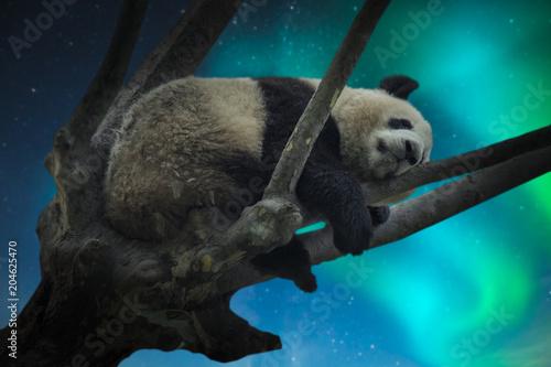 Fototapeta large panda resting on a tree