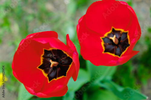 Plexiglas Tulpen Group of red tulips in the park. Spring landscape background.
