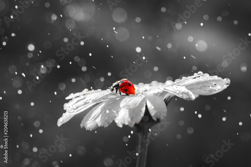 Ladybug on daisy flower and water drops, abstract background