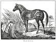 Zebra (from Das Heller-Magazin, October 11, 1834)