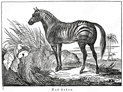 Fototapeta Zebra (from Das Heller-Magazin, October 11, 1834)