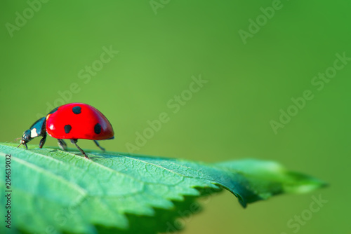 Red ladybug on green leaf plant against natural background, close up