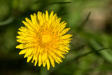 Yellow dandelions on the green grass field closeup in spring