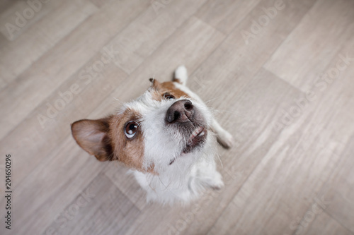 Fototapeta funny dog jack russel terrier on top at home