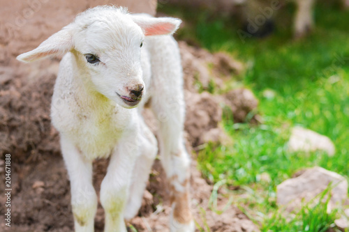 Foto Murales Cute newborn lamb outside.