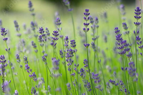 Aluminium Lavendel lavender flower field