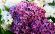 bouquet de lilas mauve et blanc