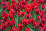 beautiful bright red tulips in the spring  lawn in the park - 204681013