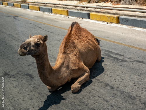 Aluminium Kameel Wild camel sits on the road in a desert