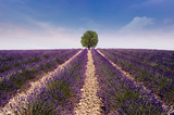 lavender field with tree - 204685004