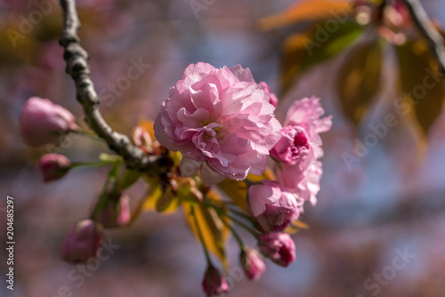 Fototapeta Beautiful cherry blossoms
