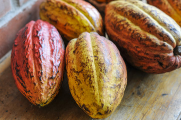 Ripe cocoa fruits / Ripe red and yellow cocoa fruits.