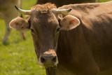 Kühe auf der Weide - 204688297