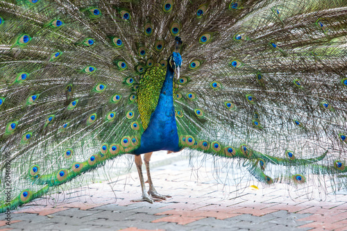 Plexiglas Pauw Peacock in the bird park