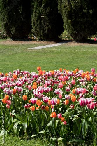 Plexiglas Tulpen tulipani