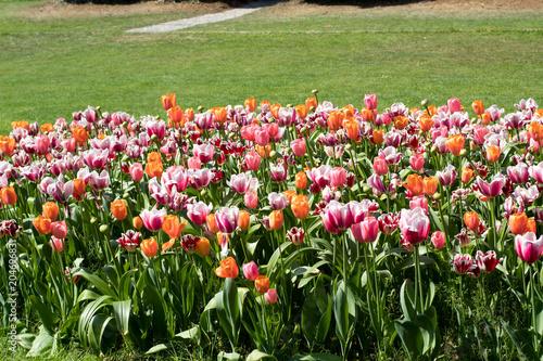 Fotobehang Tulpen tulipani