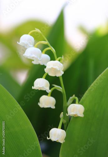 Plexiglas Lelietjes van dalen Lily of the valley