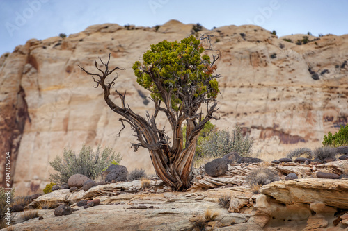 Tree and Landscape Along the Cohab Canyon Trail, Utah. Trees add that something special to a desert landscape dominated by rock and skies in Capitol Reef National Park, Utah.