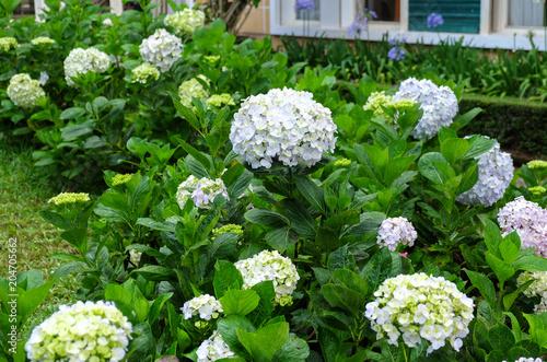 Plexiglas Hydrangea Hydrangea flowers blooming