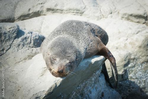 Sleeping fur seal on the rock, Kaikoura south Island New Zealand beach
