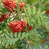 Vogelbeerbaum, Sorbus, Früchte - 204718204