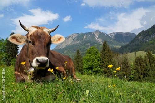 Leinwandbild Motiv Kuh auf Alpe liegt im Gras, Bayern