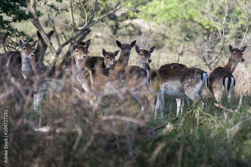 Fotobehang Hert deer at Amsterdamse Waterleidingduinen
