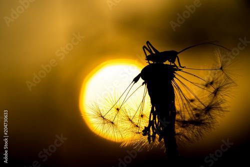 canvas print picture Grashüpfer sitzt auf Pusteblume, Sommerlichesr Hintergrund