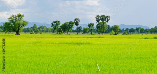 Fotobehang Lime groen green fields and streams on bright sunny days. Blue sky and beautiful clouds in bright days..rice field.Sugar palm in the green cornfield, many clouds on the blue sky.