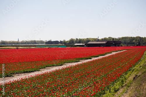 Plexiglas Tulpen Red tulip field