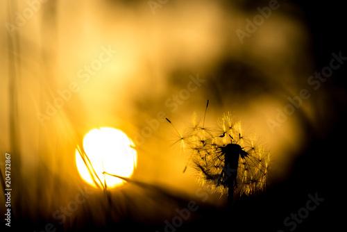 canvas print picture Pusteblume Silhouette im Sonnenuntergang, Wunderschöner sommerlicher Hintergrund