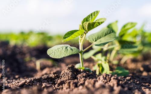 Foto Murales Small soybean plants