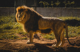 The king of animals LION