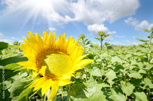 Plexiglas Geel Sunflower green field under cloudy summer sky