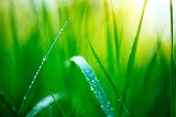 Grass. Fresh green spring grass with dew drops closeup. Soft focus. Abstract nature spring background