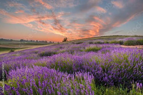 Blooming lavender fields in Poland, beautfiul sunrise - 204749853