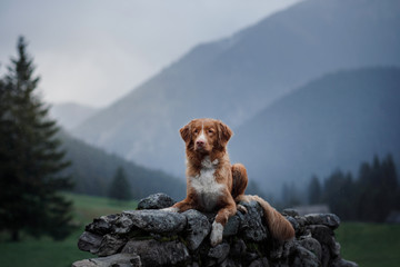 A dog in the mountains on top. Nova Scotia Duck Tolling Retriever, Toller, Traveling with a pet © annaav