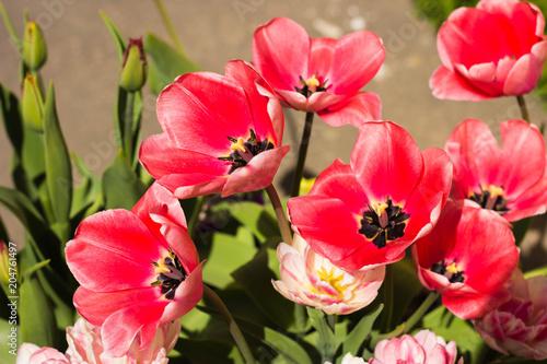 Fototapeta flowering pink tulip in garden