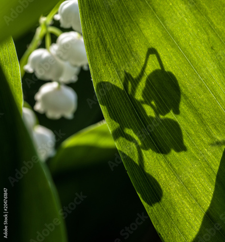 Aluminium Lelietjes van dalen The shadow of the flower on the sunlit leaf of a lily of the valley. Selective focus.