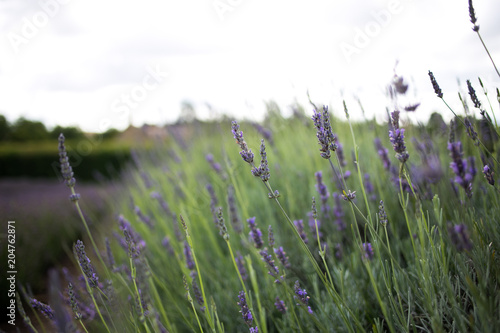 Aluminium Lavendel Purple lavender 05