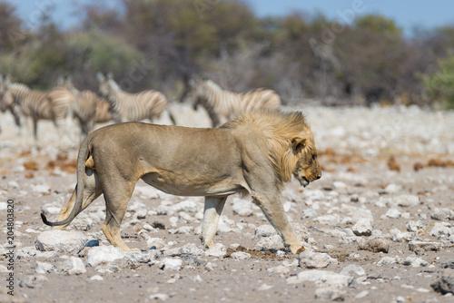 Fotobehang Lion Lion with Zebras defocused in the background. Wildlife safari in the Etosha National Park, Namibia, Africa.