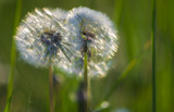 Spring background  with dandelions on a spring meadow