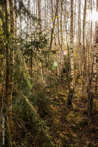 Fototapeta Junger Birkenwald mit Fichte