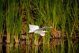 Great egret Ardea alba bird flies - 204835002